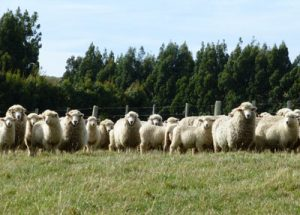 Glenview Hogget Lambing