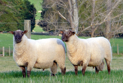 Wairarapa Hill Country South Suffolks | Glenview Romneys