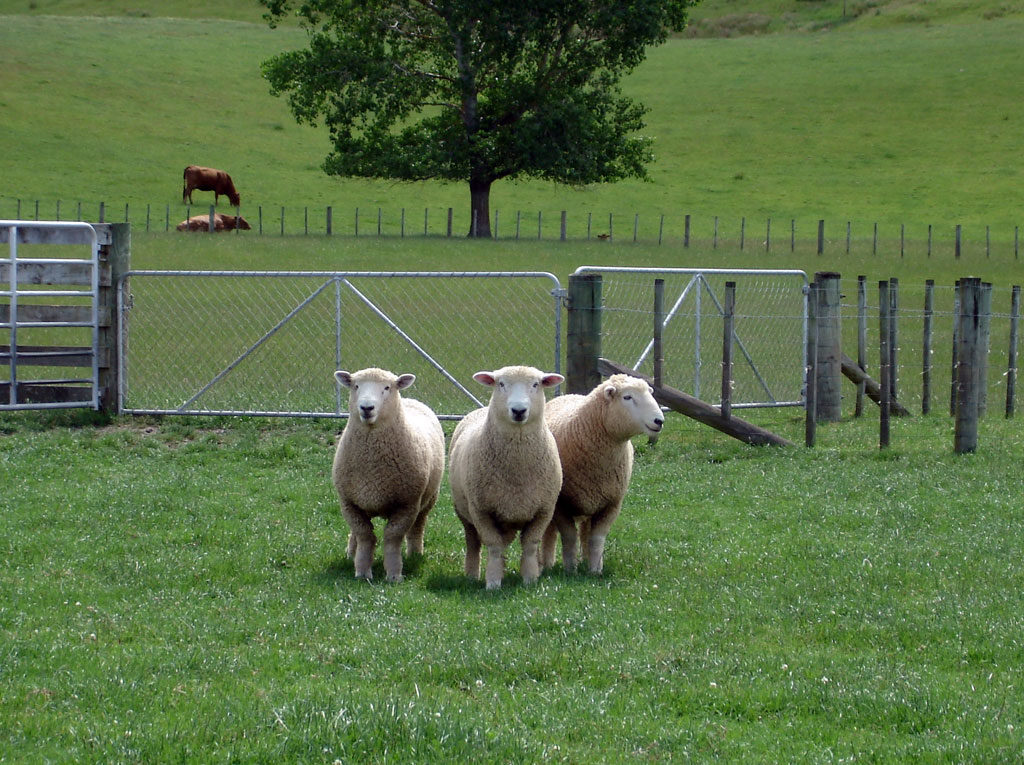 2 tooth sires bred from ewe hoggets