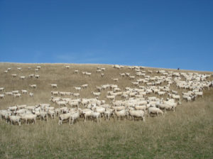 Ewes on typical 'flushing' feed