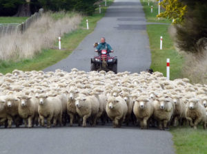 Ewe hoggets on the move