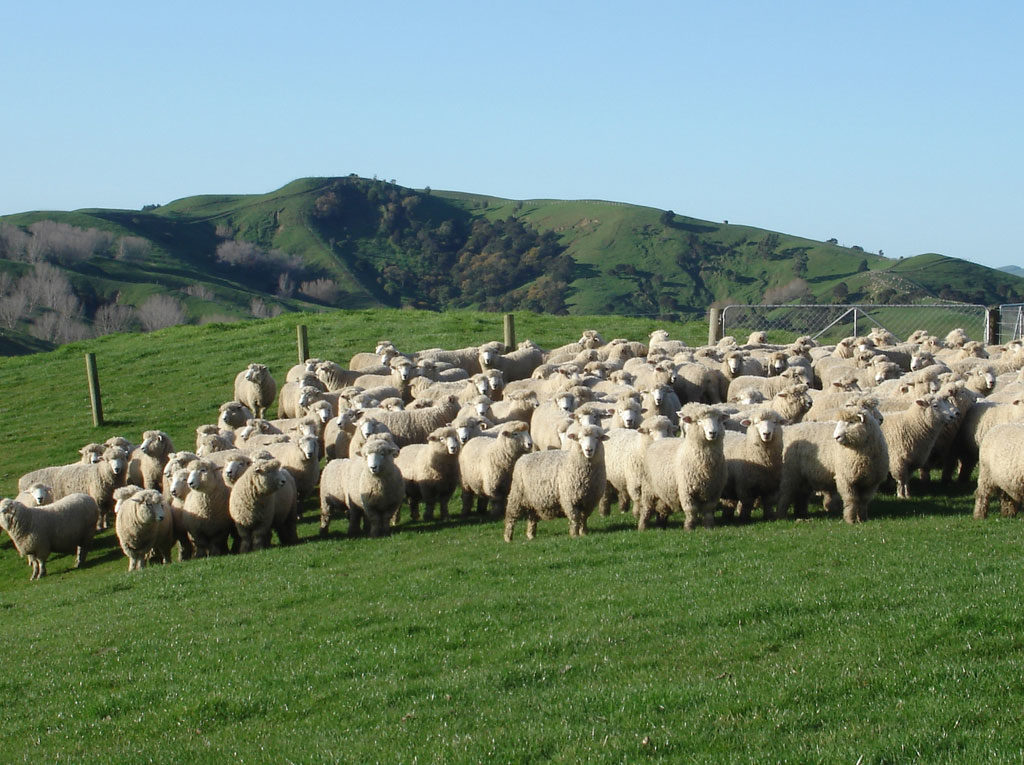 Romney ram hoggets, prior to August shearing
