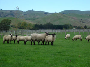 South Suffolk ewe hoggets running with ram.